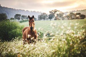Bruin paard bij zonsondergang van
