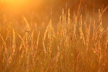 Vurig helmgras - Natuurlijk Ameland van Anja Brouwer Fotografie
