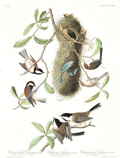 Amerikaanse Matkop van Birds of America