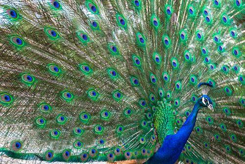 Pauw met alle kleurige veren zichtbaar