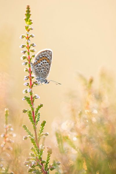 Heideblauwtje van Arjan de Wit