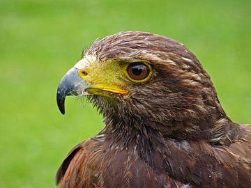 Roofvogel van Fayola Henderikse