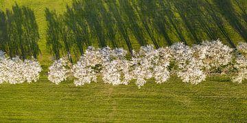 Luftaufnahme einer Baumallee in der Blüte - Schwäbische Alb von Werner Dieterich