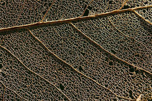 Gouden bladnerven in de herfst
