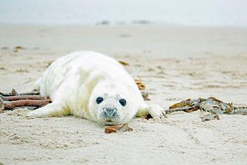 Baby Grijze Zeehond (Halichoerus grypus) relaxing op het strand von Nisangha Masselink
