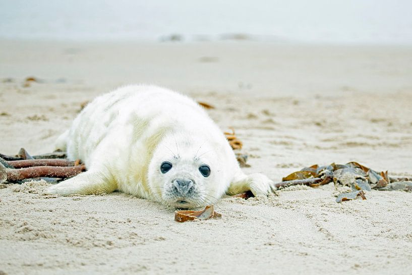 Baby Grijze Zeehond (Halichoerus grypus) relaxing op het strand van Nisangha Masselink