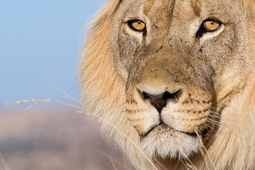 Lion's eyes - Portrait eines Löwen von Studio voor Beeld