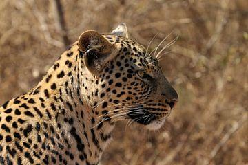 Luipaard Zuid Afrika von Ralph van Leuveren