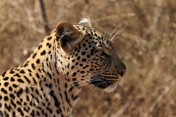 Luipaard Zuid Afrika