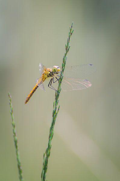 Libelle van Mark Bolijn