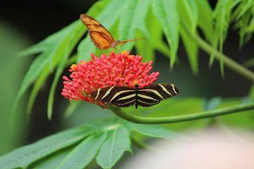 vlinder von Claas-Jan Jager