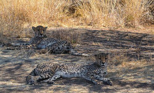 Twee cheetah's liggend in de schaduw