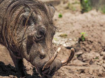 Wrattenzwijn of  Knobbelzwijn : Safaripark Beekse Bergen van Loek Lobel
