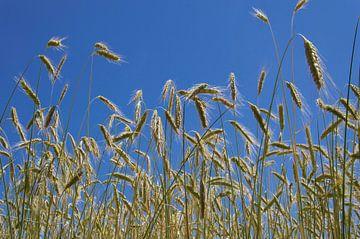 Graanveld met halmen en blauwe lucht van Arthur Hooijer