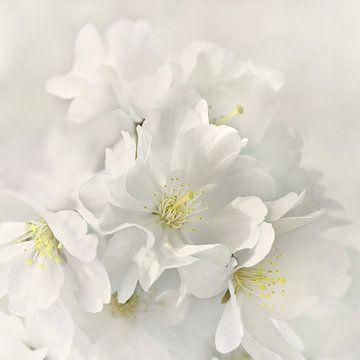 Japanische Kirschblüte von Violetta Honkisz