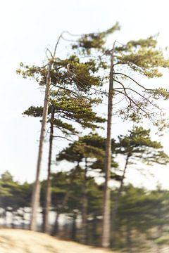 Dromerige naaldbomen in de duinen van