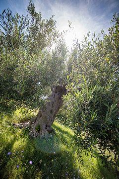 Olivenbaum in Griechenland von Ellis Peeters