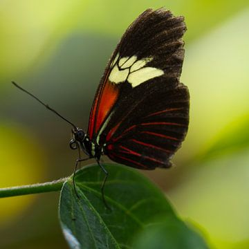 Rode Passie Vlinder von Martin Helmich