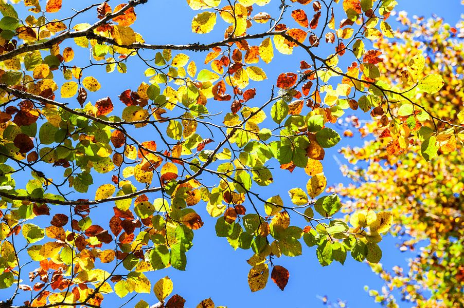 Autumn leaves. Irati forest. Navarra. Spain.