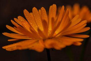 Oranje van Elsbeth Beltman
