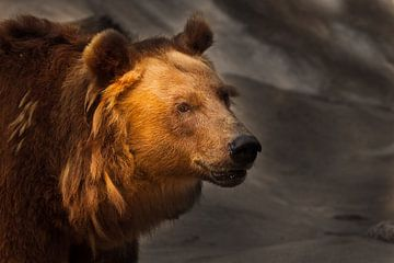Bête sur un fond sombre, éclairée par le soleil. Face d'ours sur Michael Semenov