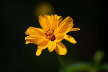 Sonnenblume im Morgenlicht von Annemarie Goudswaard