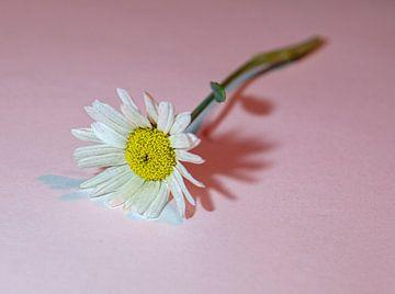 Gänseblümchen im Rampenlicht von Douwe Beckmann