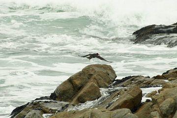 Scholekster vliegt langs de kust van