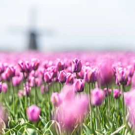 Tulpen von Henk Verheyen