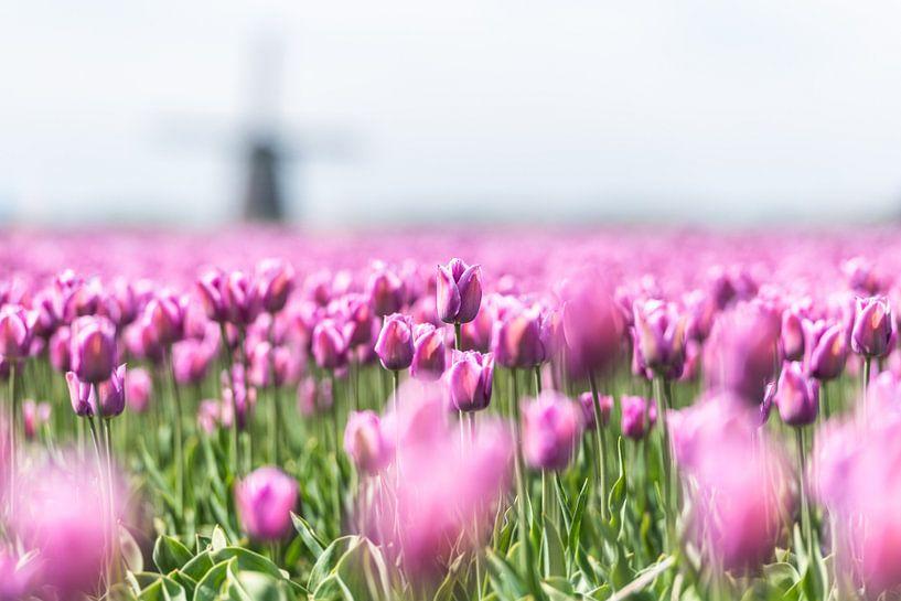 Tulpen van Henk Verheyen
