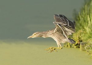 Jonge kwak vliegt weg