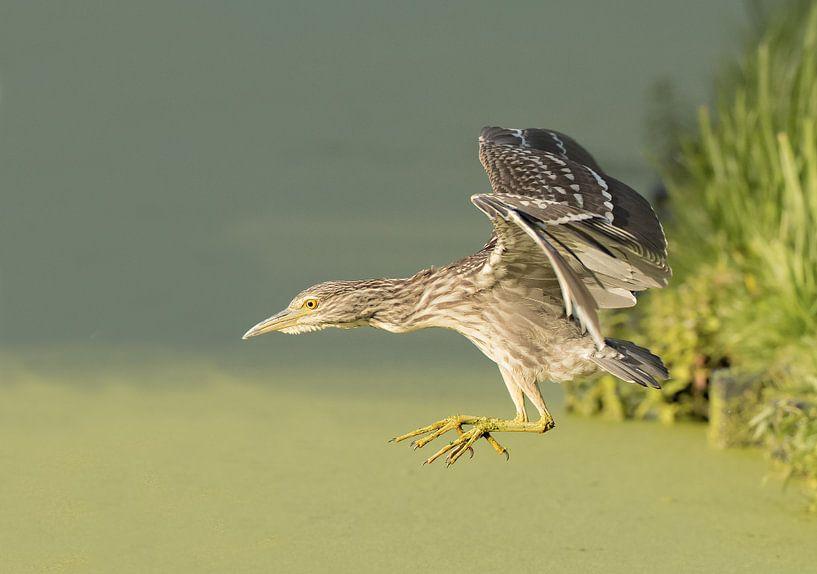 Jonge kwak vliegt weg van Erik de Rijk