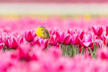 Tulpen | Gele kwikstaart in een kleurrijk Hollands tulpenveld van Servan Ott
