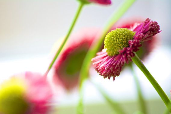 Blüte van Reinhardt Dallgass