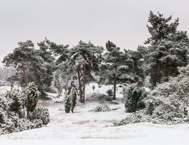 Bunch Of Pine Trees van William Mevissen