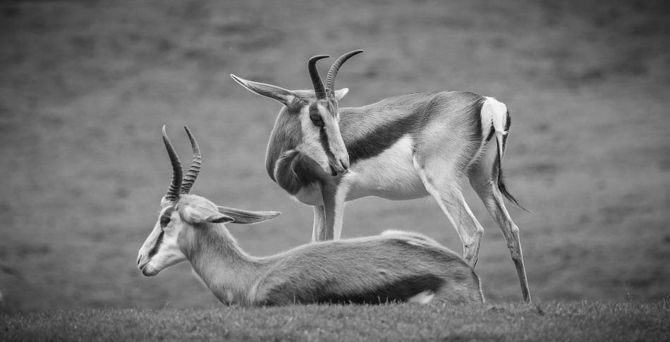 Antilopen van Sander Meertins