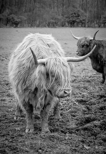 Schotse Hooglanders sur Marja van den Hurk