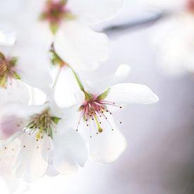 Cherry blossom sur Ratna Bosch