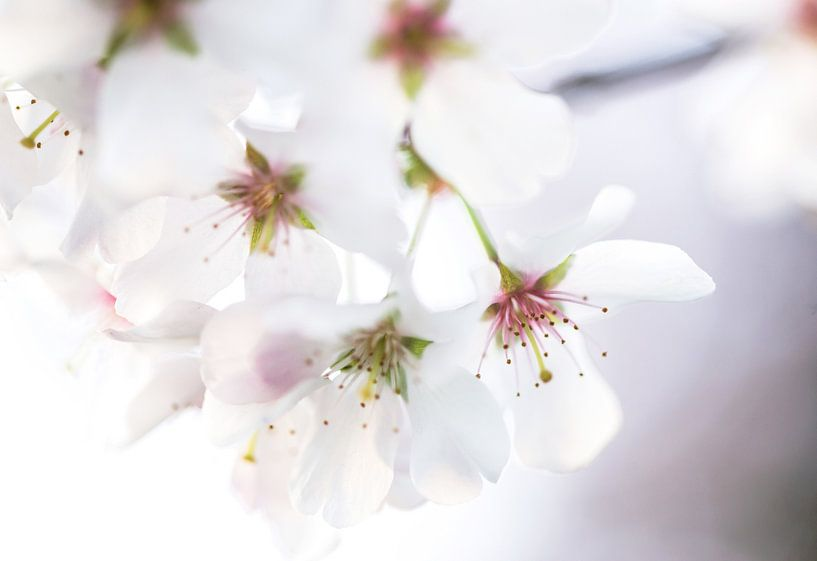 Cherry blossom von Ratna Bosch