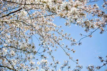 Witte bloesems en een strak blauwe lucht van Lindy Schenk-Smit