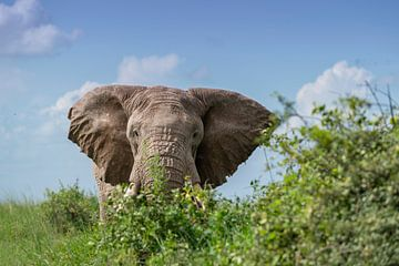 Face à face avec un éléphant mâle