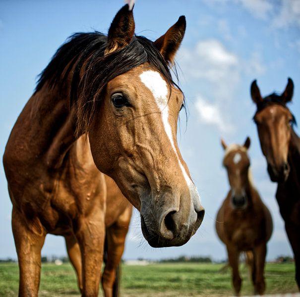 Pferd im Holland. Schönfühlend von Dawid Baniowski
