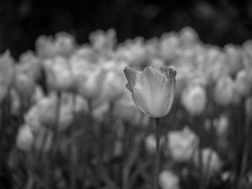 Schwarze weiße Tulpen von Martijn Tilroe