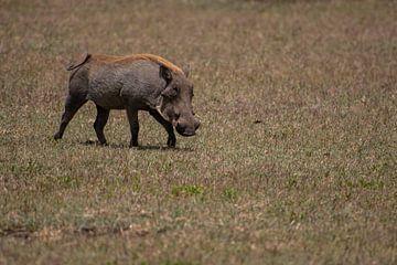 Wildschwein auf der Ebene der Serengeti von Menno Selles