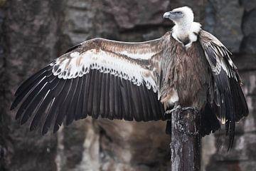 Der Gänsegeier sitzt wunderschön, spreizt seine riesigen Flügel mit langen Federn, Aasfresser, die F von Michael Semenov