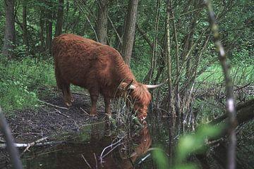 Schottisches Hochlandrind trinkt in der Natur aus einem Bach von Robin van Maanen