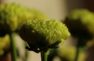 Kleine Knospen der Chrysantheme in der Sonne von Pim van der Horst