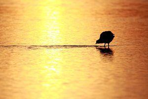 Blässhuhn bei Sonnenaufgang