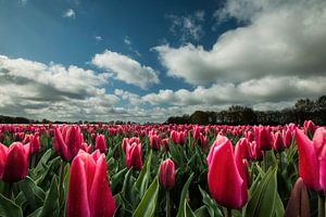 Rode tulpen met Hollandse luchten