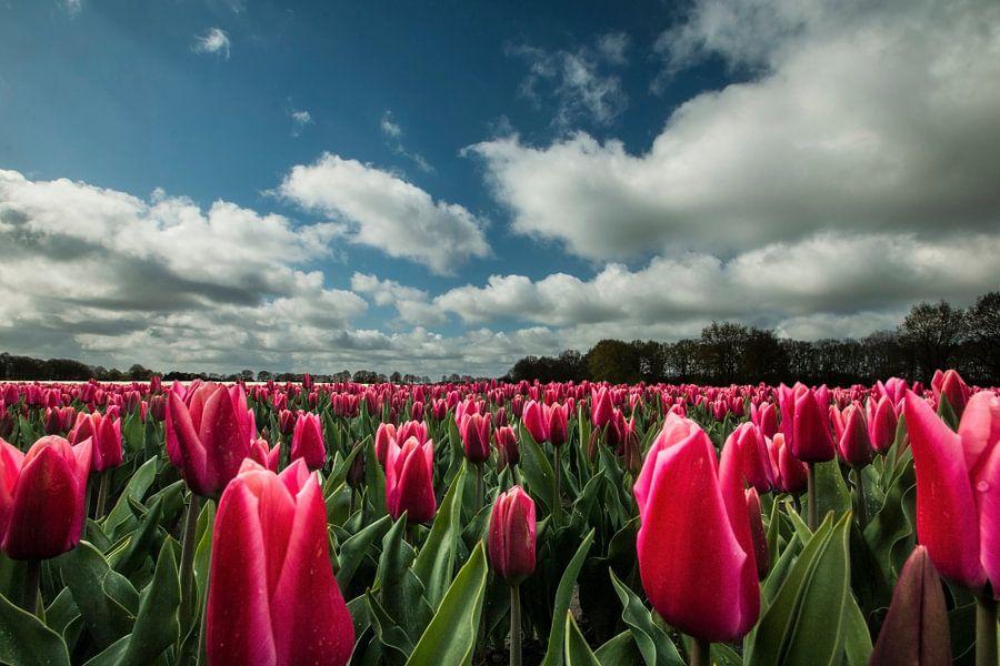Rode tulpen met Hollandse luchten van Gert Hilbink